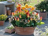 Terracottaschale mit Ranunculus (Ranunkeln), Tulipa 'American Dream'