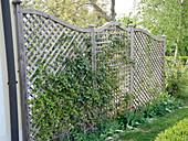 Sichtschutz - Zaun mit Hedera (Efeu) berankt