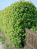 Acer campestre (Feldahorn) als geschnittene Hecke, Zaun