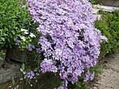 Phlox subulata 'Violet Seedling' (Polster-Phlox) auf Steinmauer