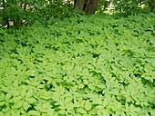 Aegopodium podagraria (Giersch) im Beet als Bodendecker