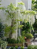 Wisteria floribunda longissima 'Alba' (Weißer Blauregen), Clematis alpina