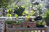 Pflanztisch auf Balkon : Tomaten (Lycopersicon), Thymian (Thymus)