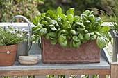 Spinat 'Emilia f1' (Spinacia oleracea) auf Balkon in Terracotta - Kasten
