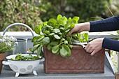 Frau erntet Spinat 'Emilia f1' (Spinacia oleracea) auf Balkon