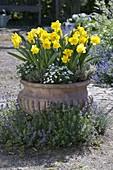 Terracotta-Schale mit Narcissus 'Yellow River' (Narzissen), Arenaria