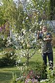 Frau schmückt Sauerkirsche 'Morina' (Prunus cerasus)mit Ostereiern