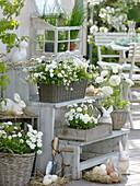 weiße Oster-Terrasse mit Bellis (Tausendschön), Saxifraga arendsii
