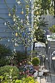 Sauerkirsche 'Morina' (Prunus cerasus)