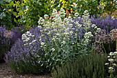 Centranthus ruber 'Alba' (weiße Spornblume), Lavendel (Lavandula) und Thymian (Thymus vulgaris)
