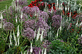 Allium christophii (Sternkugel-Lauch), Veronica longifolia 'Schneeriesin' (Ehrenpreis)