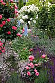 Rosenbeet mit Stauden : Rosa 'Leonardo da Vinci' (Nostalgie-Rosen), Salvia nemorosa 'Caradonna' (Ziersalbei), Gypsophila 'Rosenschleier' (Schleierkraut), Delphinium (Rittersporn), Nepeta (Katzenminze)