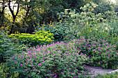 Geranium 'Patricia' (Storchschnabel), Euphorbia 'Goldener Turm' (Wolfsmilch) und Angelica archangelica (Echte Engelwurz), Telekia (