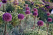 Allium 'Globemaster' (Zier-Lauch) und Anthemis tinctoria 'Sauce Holandaise' (Färberkamille)