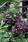Clematis 'Etoile Violette' (Waldrebe) klettert an Holzveranda, Phytolacca (Kermesbeere)