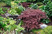 Acer palmatum 'Dissectum Garnet' (Schlitz-Ahorn) an Bachlauf, Bergenia (Bergenien), Farne, Natursteine, Erde mit Blähton gemulcht
