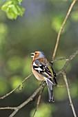 Buchfink-Männchen singt, Fringilla coelebs, Deutschland / Chaffinch, male singing, Fringilla coelebs, Germany