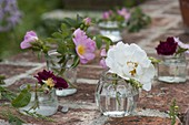 Rosa rubiginosa , semiplena und gallica 'Tuscany' (Rosen)
