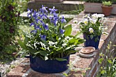 Aquilegia 'Spring Magic' (Akelei), Convallaria majalis (Maiglöckchen)