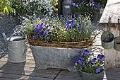 Blechwanne mit Viola cornuta (Hornveilchen), Myosotis (Vergißmeinnicht)