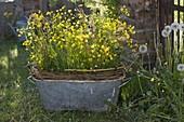 Blechwanne mit Ranunculus acris (Butterblumen, Hahnenfuß), Sauerampfer