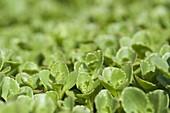 Sedum hybridum 'Immergrünchen' (Immergrüne Fetthenne)