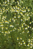 Matricaria chamomilla (Echte Kamille)