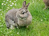 Zwerg-Kaninchen auf der Wiese