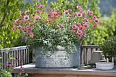 Blechkasten mit Argyranthemum frutescens 'Molimba® XL Watermelon'