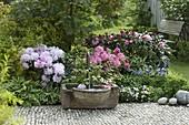 Brunnen mit Steintrog, Rhododendron Yakushimanum 'Milano'