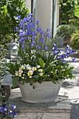 Blechwanne mit Aquilegia 'Spring Magic' (Akelei), Campanula persicifolia