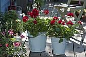 Emaillierte Blecheimer bepflanzt : Pelargonium Interspecific 'Caliente Deep Red'