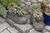 Alte Schuhe bepflanzt mit Sempervivum (Hauswurz)