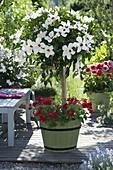 Hibiscus rosa-sinensis 'Alabaster' (Hibiskus) im Holzkübel