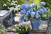 Hydrangea 'Endless Summer' (Hortensie) im blauen Kübel auf Terrasse