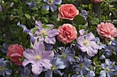 Rosa 'Amelia' (Renaissance - Rose), Clematis integrifolia 'Juuli'