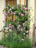 Rosa 'Fantin Latour' (Historische Strauch-Rose) am Haus, Lavendel (Lavandula