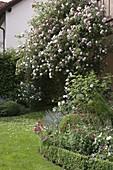Rosa (Kletterrose) am Haus, halbrundes Staudenbeet