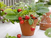 Erdbeere (Fragaria) im Tontopf