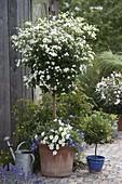 Solanum rantonnetii 'Alba' (Weißer Enzianbaum), Convolvulus sabatius