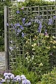 Clematis (Waldreben) und Lonicera caprifolium (Geißblatt)