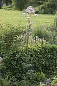 Baldrian (Valeriana officinalis) vor kleiner Abgrenzung aus Hedera (Efeu)