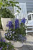 Blau bepflanzte Schale mit Delphinium (Rittersporn), Ageratum