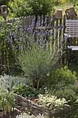 Lavendel (Lavandula) Stamm in Kräuterbeet mit Weideneinfassung