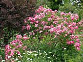 Rosa moschata 'Mozart' (Moderne Strauchrose), öfterblühend,