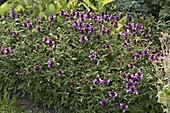 Prunella grandiflora 'Rosenkugel' (Braunelle)
