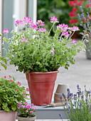 Pelargonium 'Pink Capitatum' (Duftgeranie) im roten Topf
