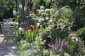Sommerbeet mit Dahlia (Dahlien), Gladiolus 'Claudia' (Gladiolen), Liatris