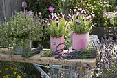 Schopflavendel (Lavandula stoechas) in tin cans, lavender