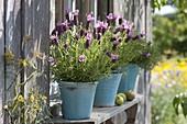 Spanish lavender (Lavandula stoechas) in turquoise pots